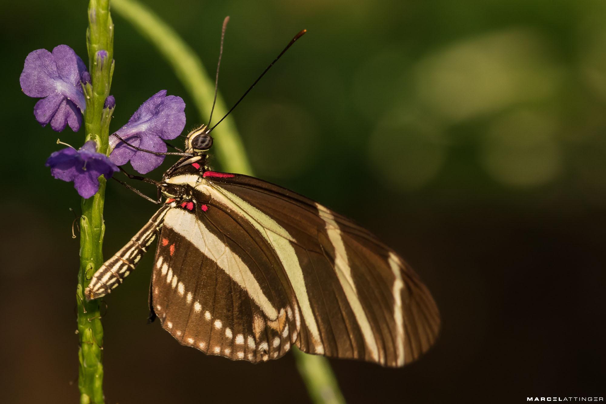 Bruine vlinder op paarse bloem