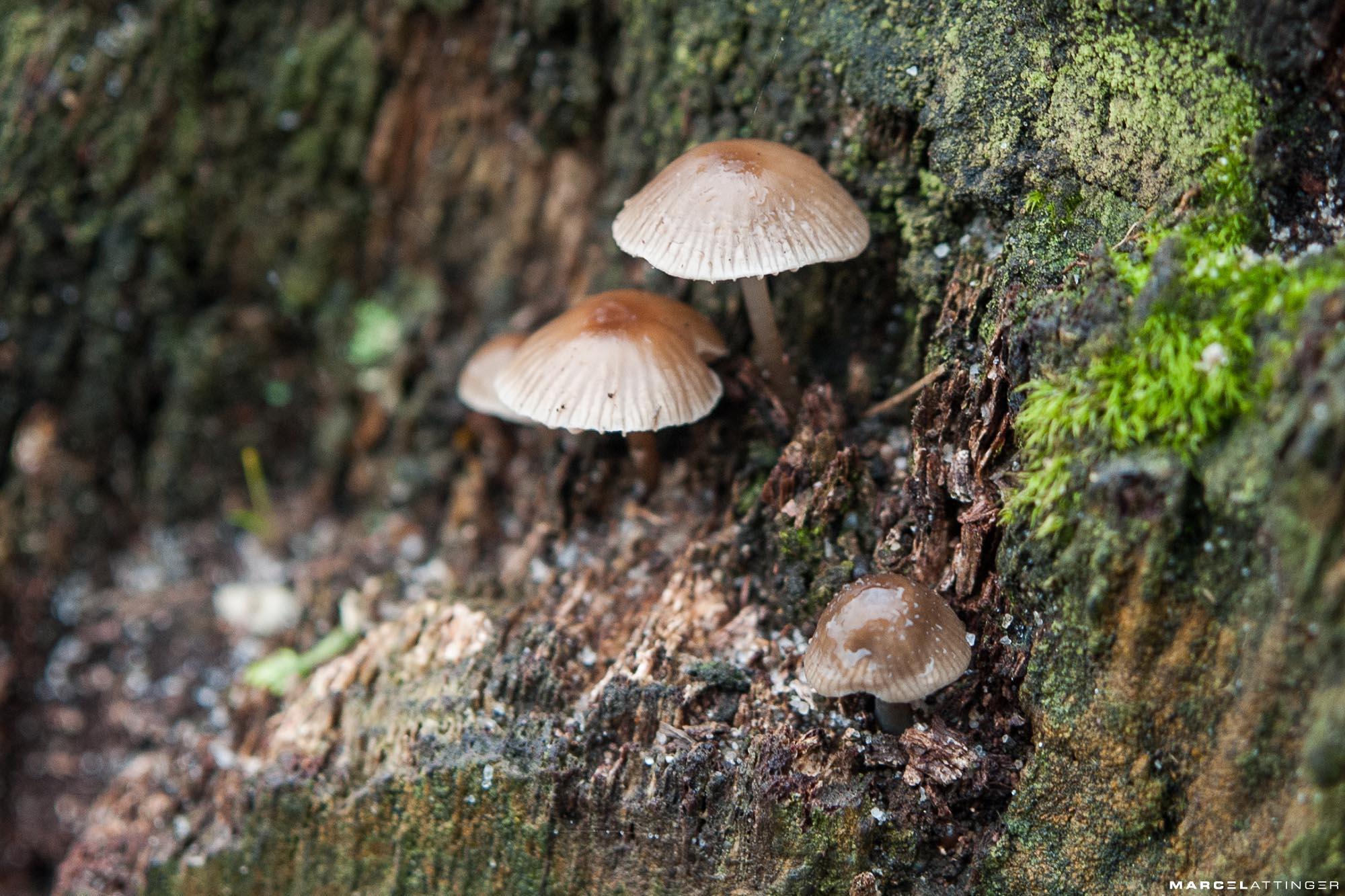 Drie paddenstoelen in focus met waterdruppels