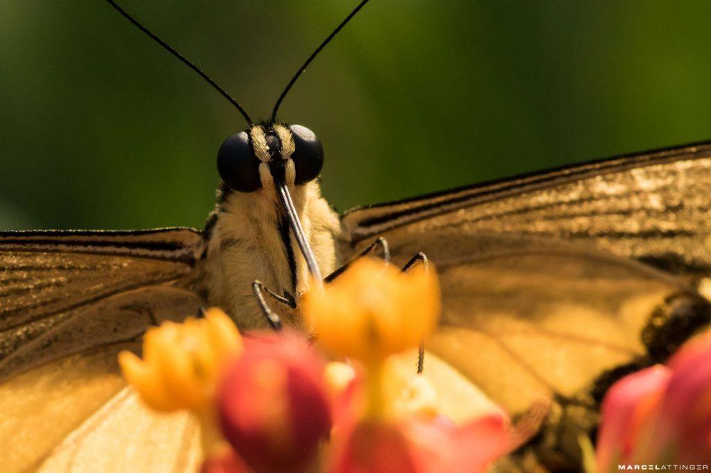 Gele vlinder aan het drinken macro Tokina 100mm