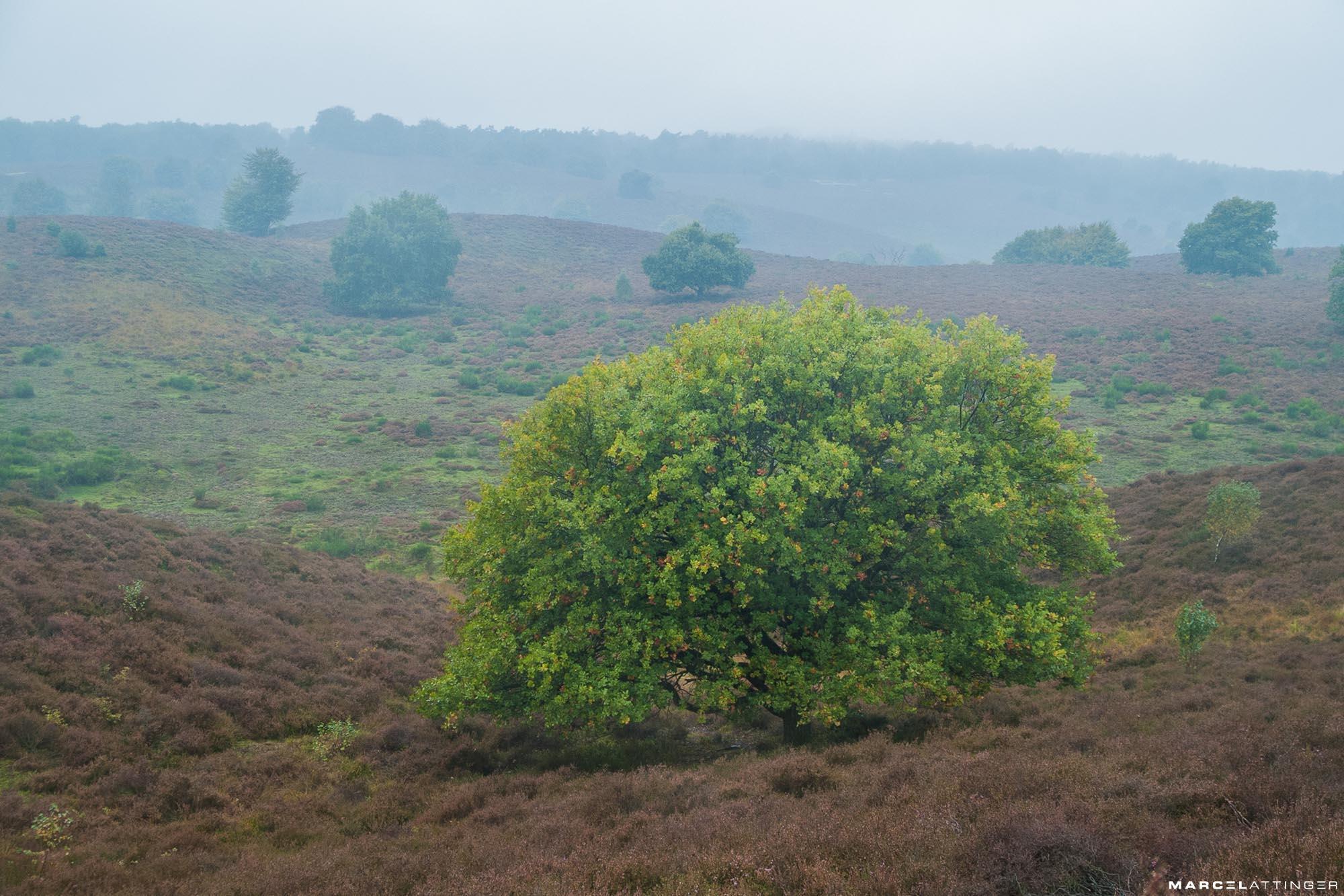 Groene boom op de heide van de Posbank