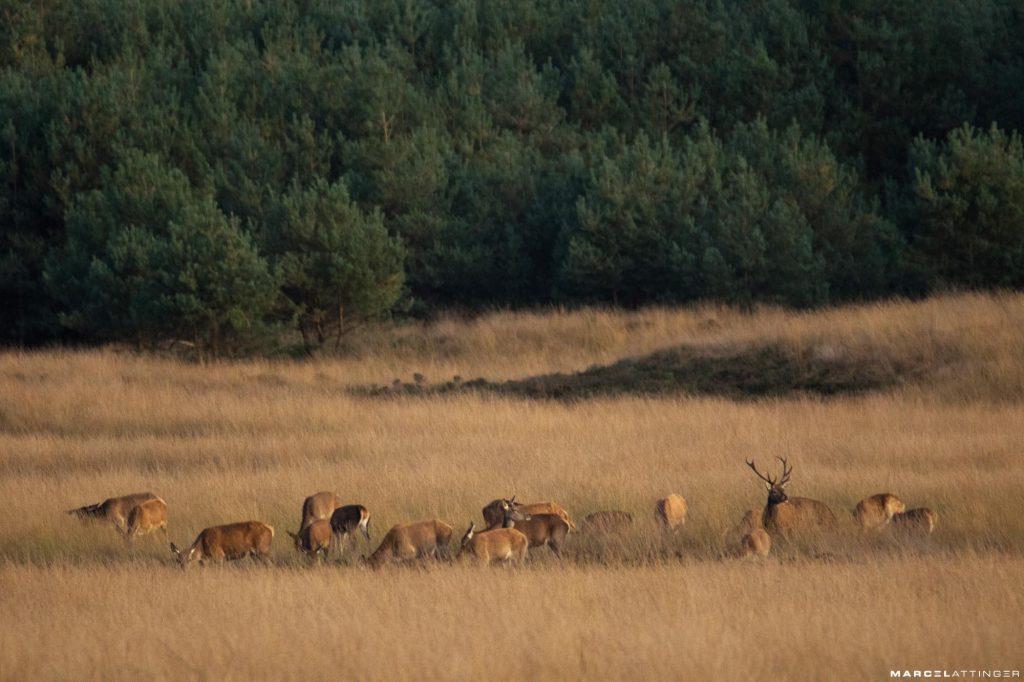 Groep edelherten langs de Wildbaanweg op de Hoge Veluwe