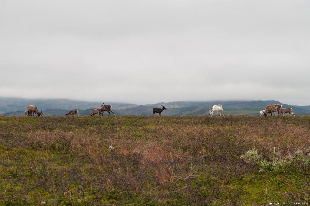 Groep rendieren op de velden langs de weg richting de Noordkaap