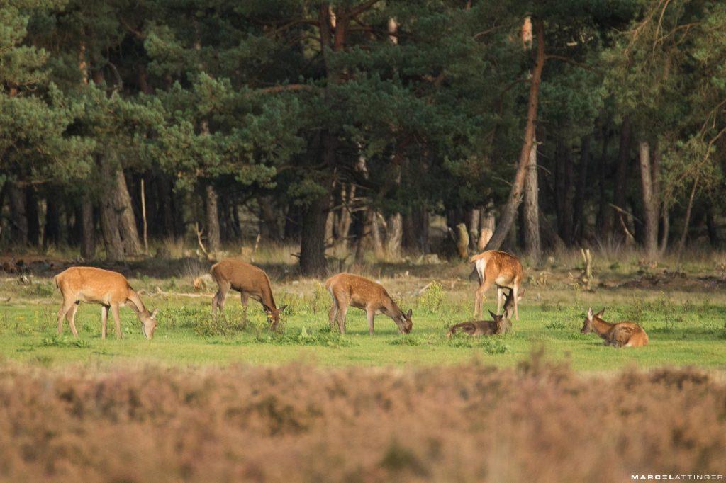 Groepje damherten langs de Wildbaanweg op de Hoge Veluwe