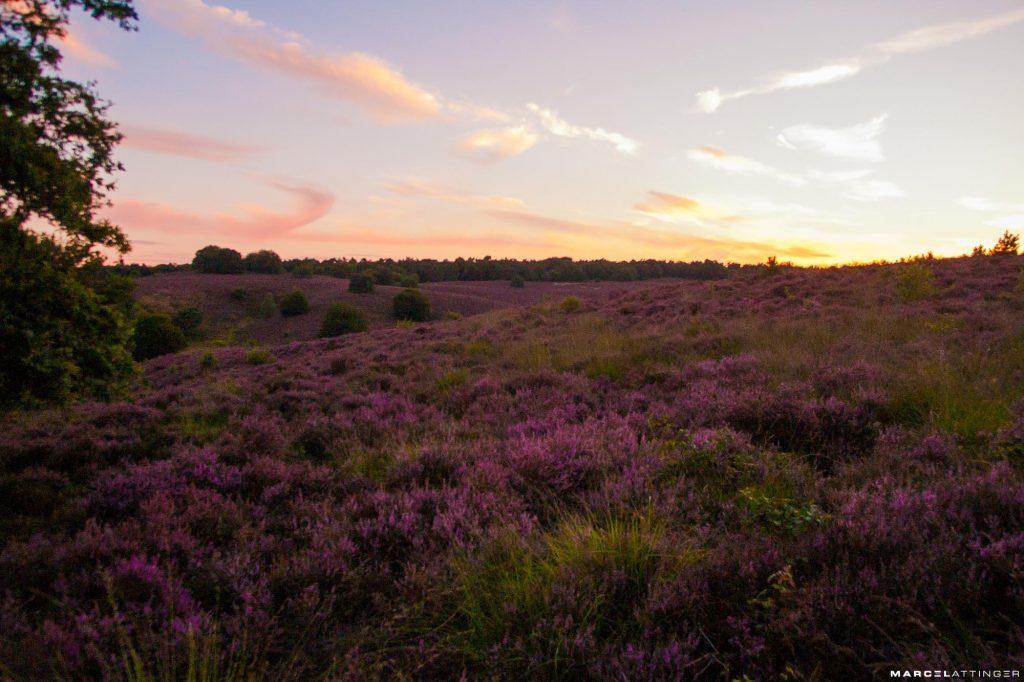Heide van de Posbank in bloei