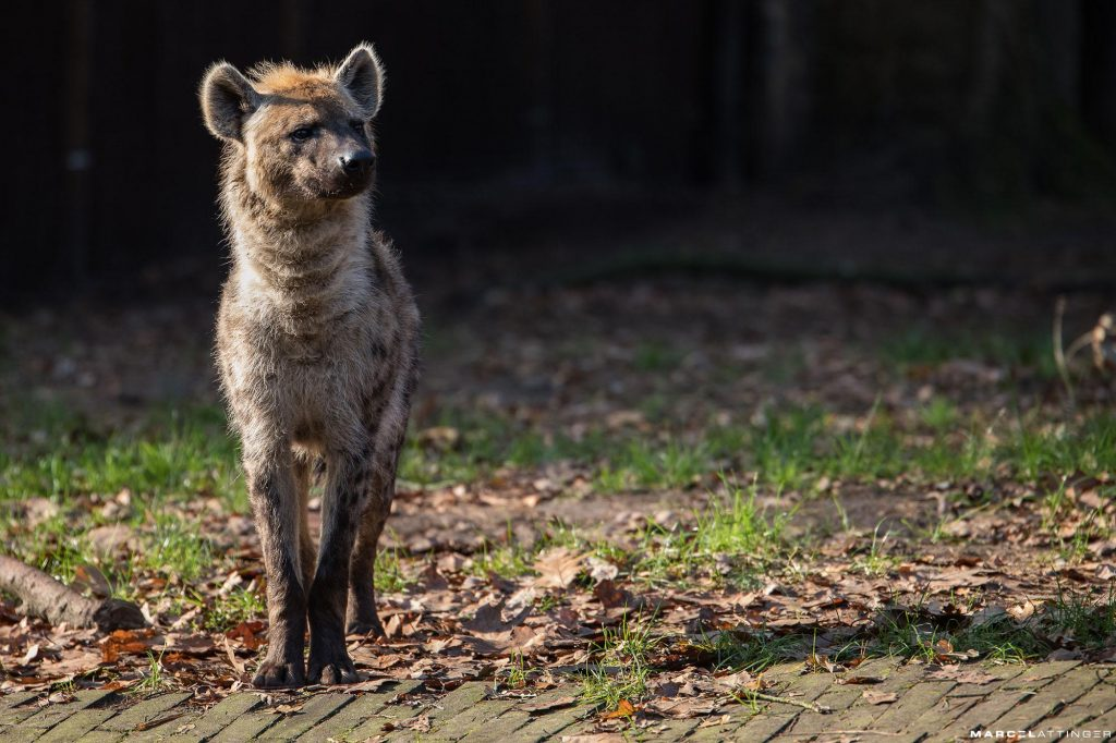 Hyena in Dierenpark Amersfoort