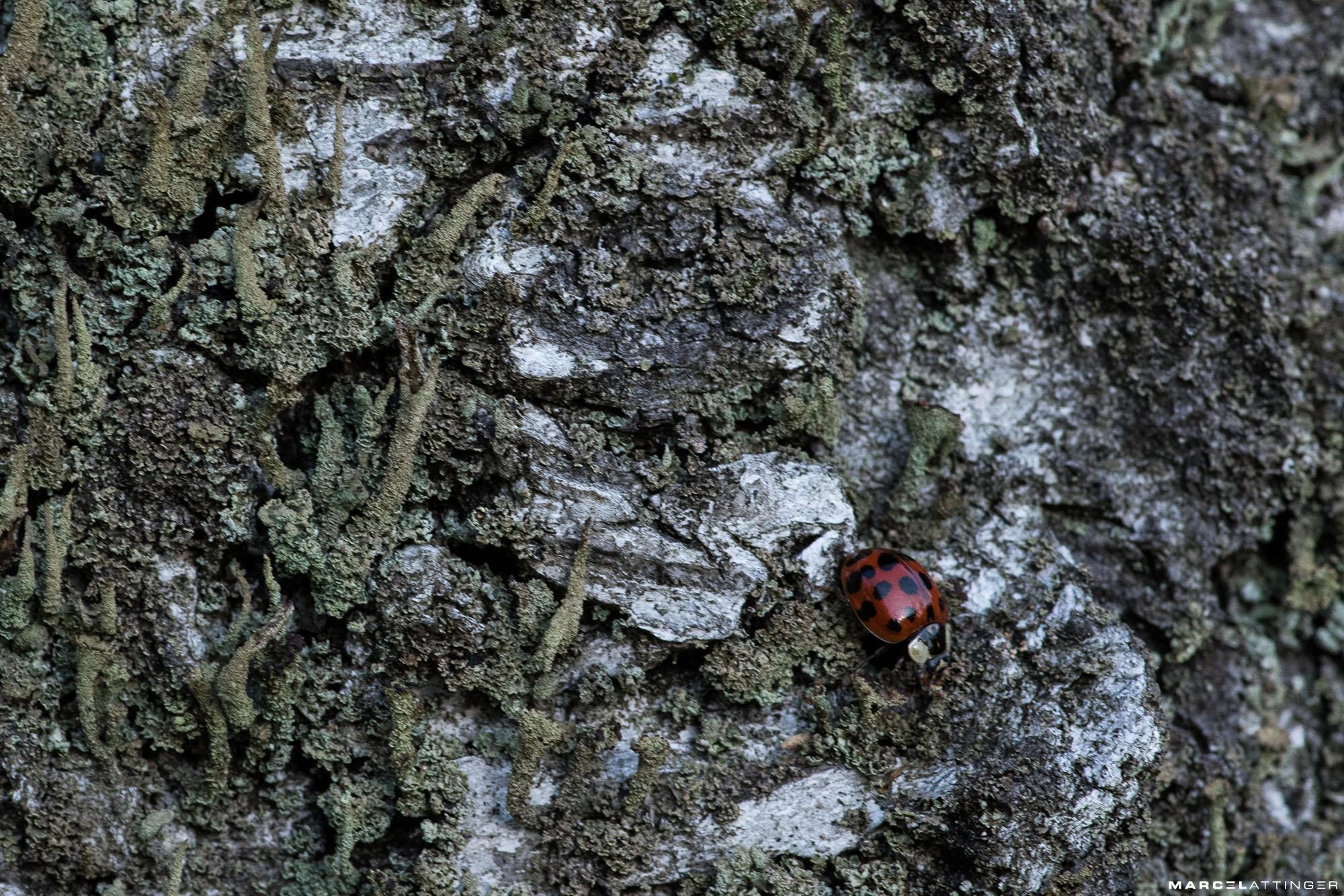 Lieveheersbeestje op boomschors macro Tokina 100mm