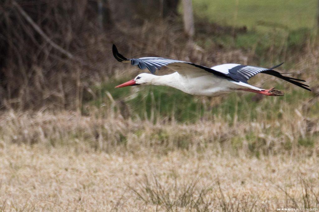 Ooievaar in vlucht, laagvliegend over een veld