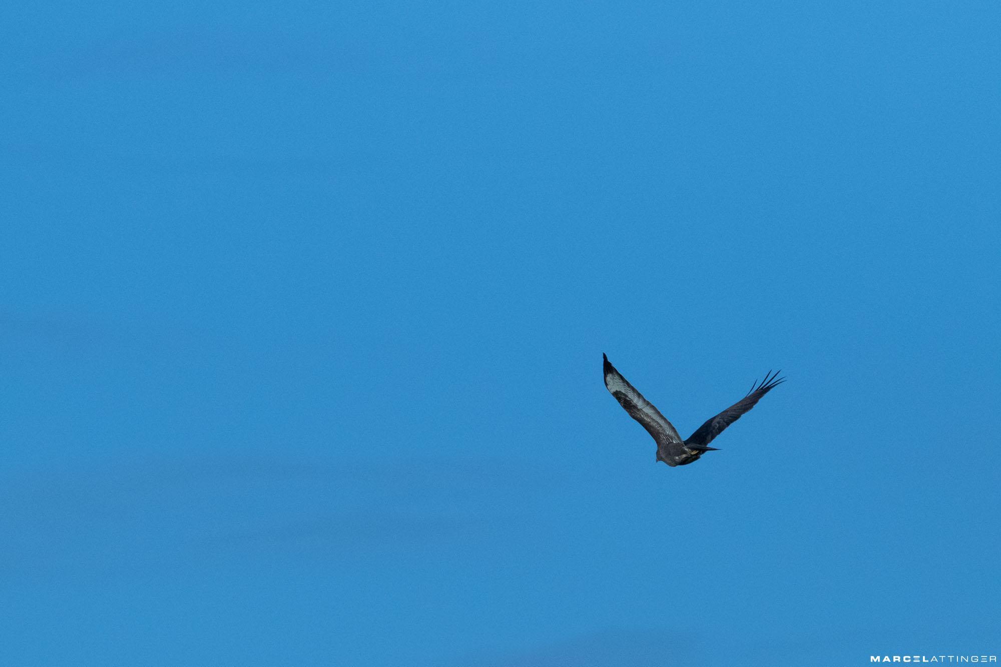 Roofvogel tegen strakblauwe lucht