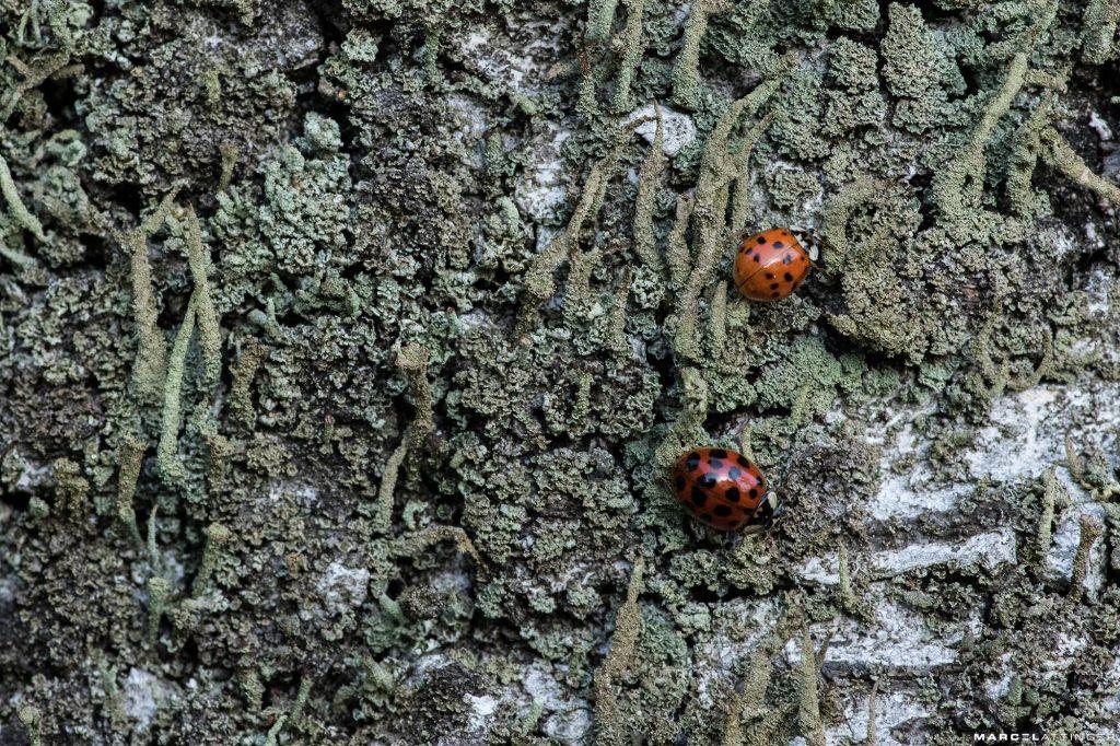 Twee lieveheersbeestjes op boomschors macro Tokina 100mm