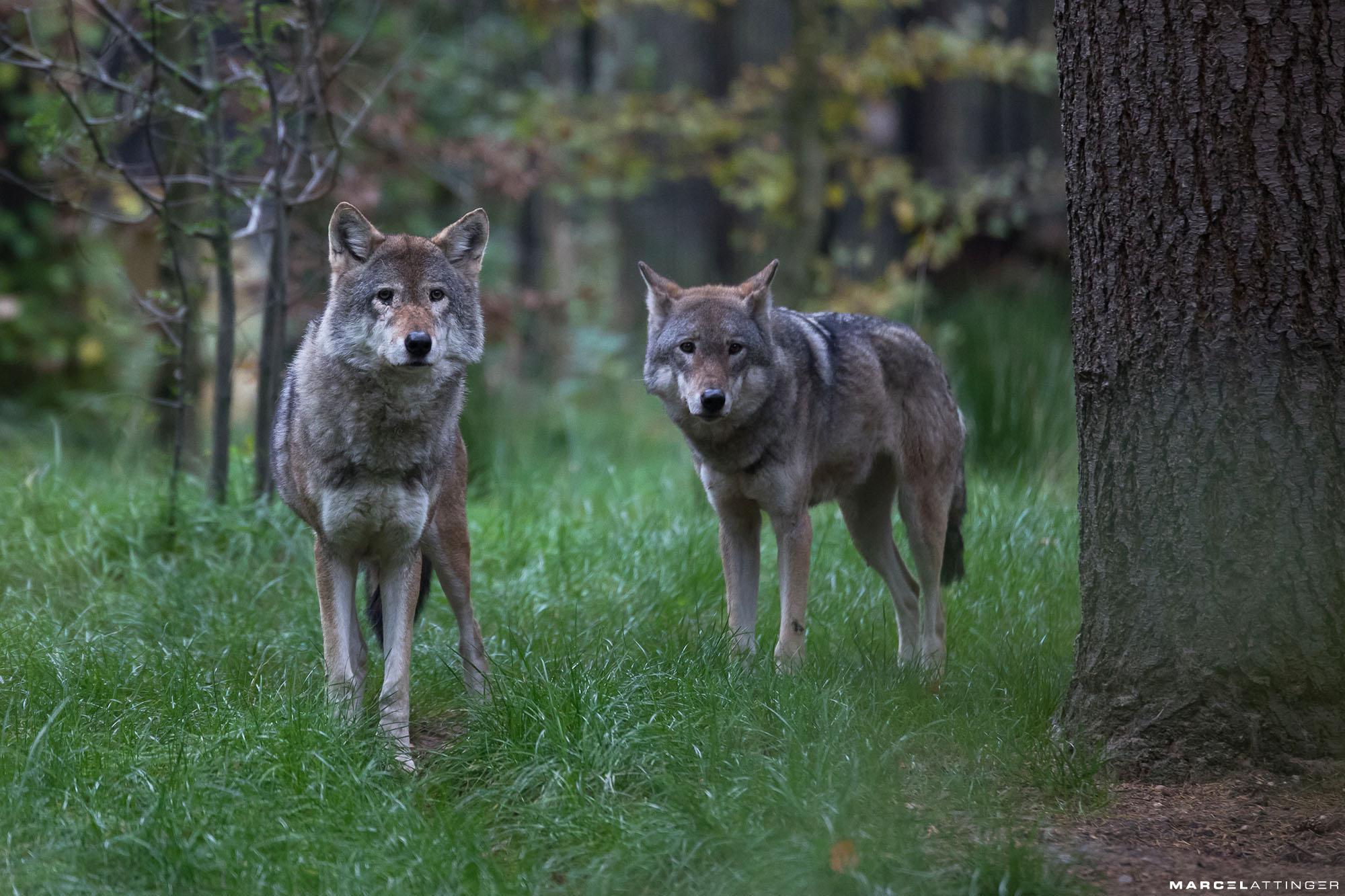 Wolven in Dierenpark Amersfoort