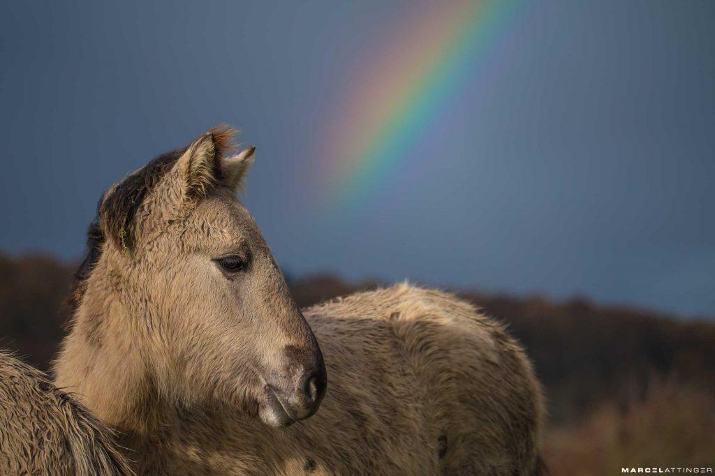 Konikpaard met regenboog