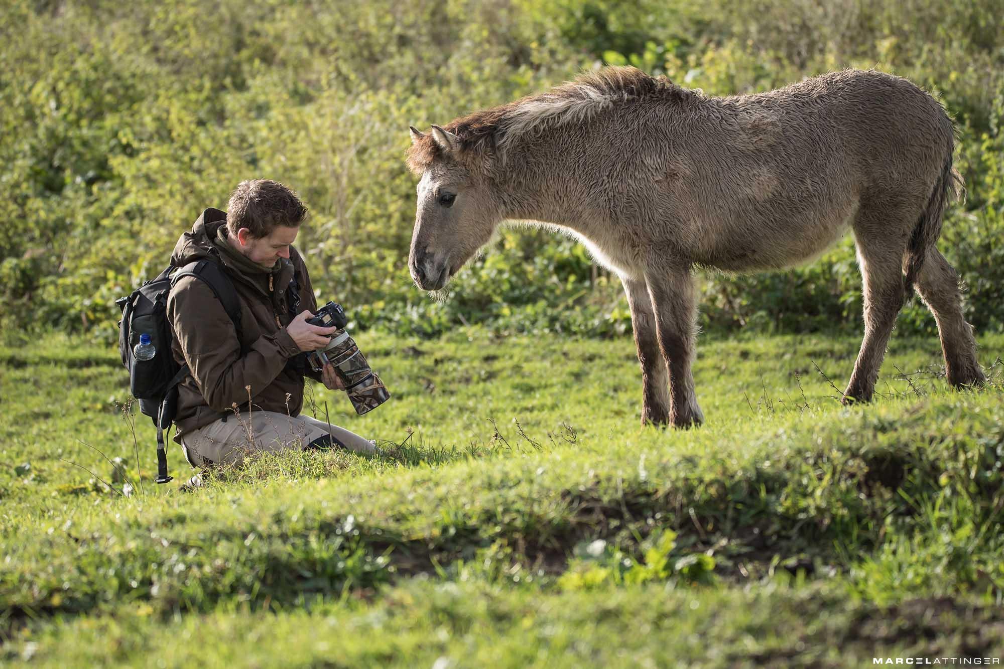 Konikpaarden van de Blauwe Kamer zijn nieuwsgierig