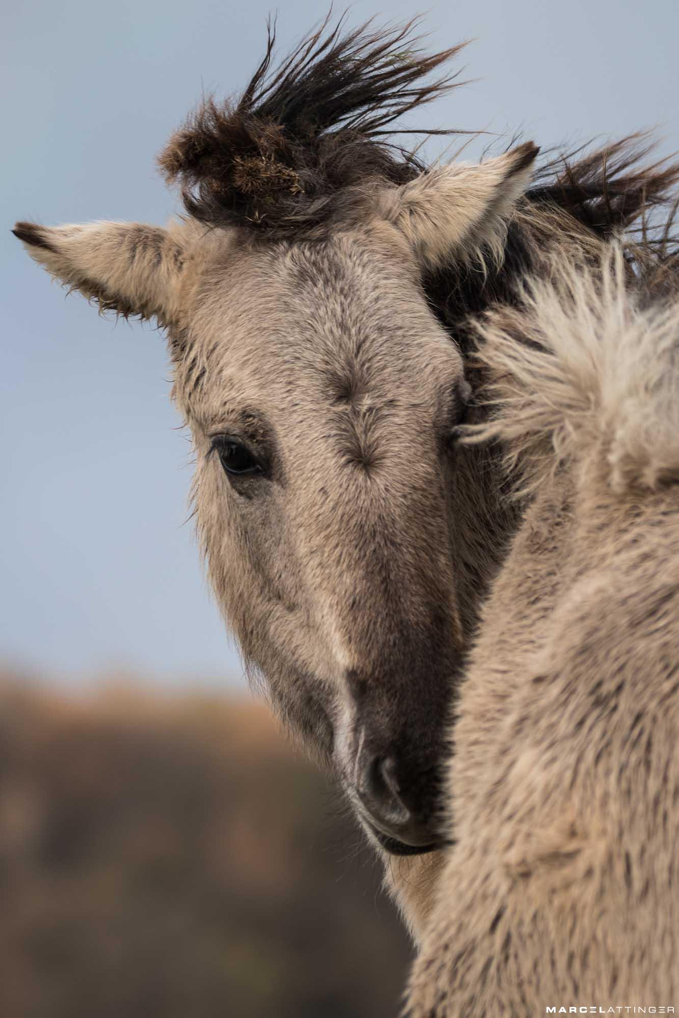 Portret van een konikpaard